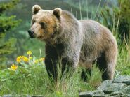Grizzly-Bears-animals-13128534-1024-768