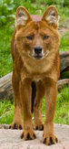 Indian dhole