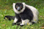 Black-and-white-ruffed lemur