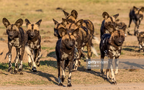 African wild dogs 1