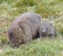 American Wombat