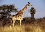 Beautiful-Giraffe