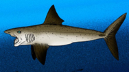 250px-Helicoprion bessonovi cropped