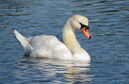 Mute Swan PR 3083a