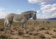 Hagerman horse equus simplicidens american zebra by philip72-d77uy35