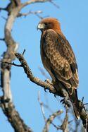 20090116201542 little-eagle