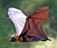 Hybrid flying fox