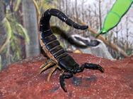 Scorpiones - Palaeophonus nuncius