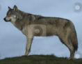 Southern Rocky Mountain wolf