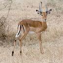 250px-Serengeti Impala3