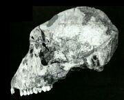 Homodon skull