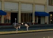 Ostriches In Marysville