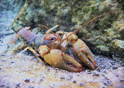 Wild-crawfish-jc-findley