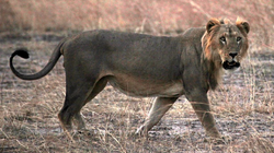 Lew senegalski