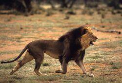 Lew z Kalahari