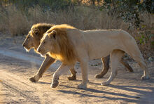 Two-male-lions-1024x689
