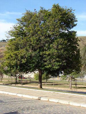 Caesalpinia echinata 2