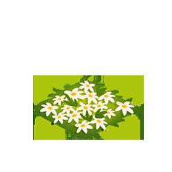 Lightning Lillies