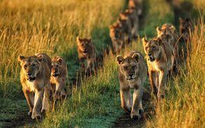 Dieren-hd-achtergrond-met-groep-leeuwen