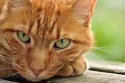 Cat close up orange cat green eyes