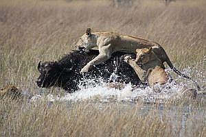 Mlkleeuwinnenbuffel
