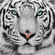Fototapete-1050-gorgeous-sumatran-tiger-250x250cm-einzel