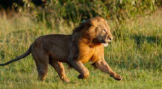 Tien-snelste-dieren-leeuw