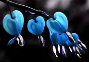 BleedingHearts in Blue Free Creative Commons