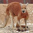 Redkangaroo