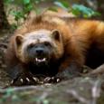 Wolverine zoo
