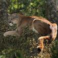 Floridapanther