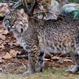 Bobcat zoo
