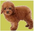 Toy Poodle Nintendog