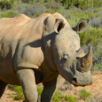 Whiterhinoceros