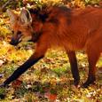 Manedwolf