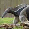 Giantanteater