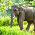 Asianelephant
