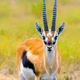 Thompsongazelle
