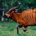 Bongoantelope