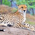 Africancheetah