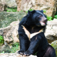 Asiaticblackbear