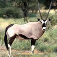 Eastafricanoryx