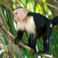 Whitefacedcapuchin