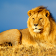 Africanlionmale