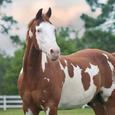 Americanpaintedhorse