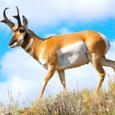 Pronghorn zoo