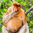 Probosicusmonkey