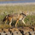 Coyote zoo