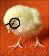 Baby chicks2 1