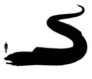 Coracle Eel